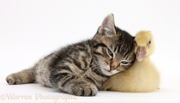 Cute tabby kitten, Fosset, 9 weeks old, rubbing against a yellow gosling, white background