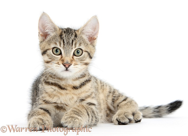 Tabby kitten, Stanley, 12 weeks old, white background