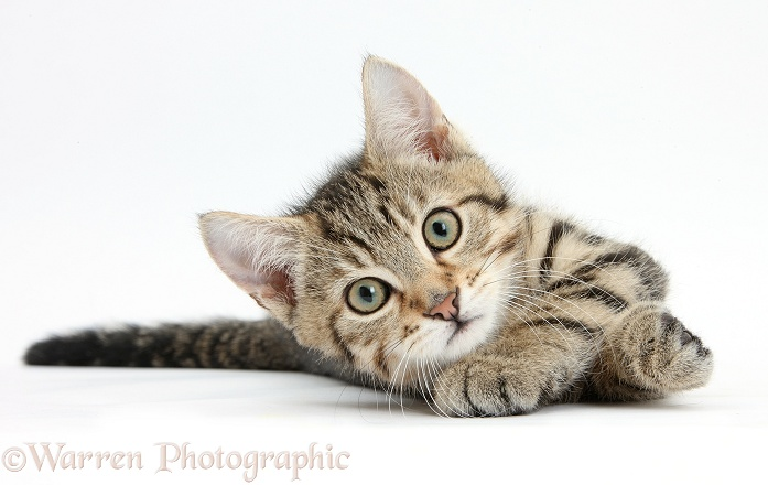 Tabby male kitten, Stanley, 12 weeks old, rolling playfully, white background