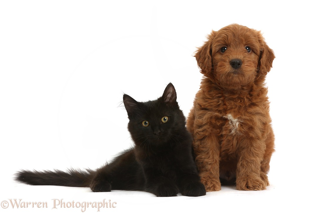 Cute red F1b Goldendoodle pup and black kitten, white background