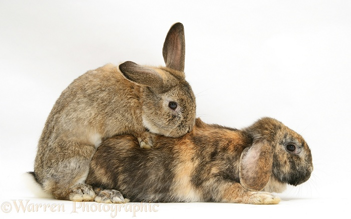 Rabbits mating, white background