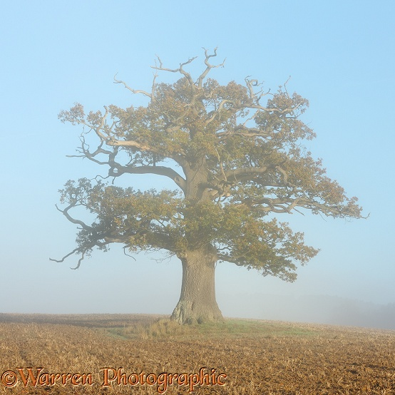 English Oak (Quercus robur) with early morning autumnal mist (07-11-2012).  Surrey, England