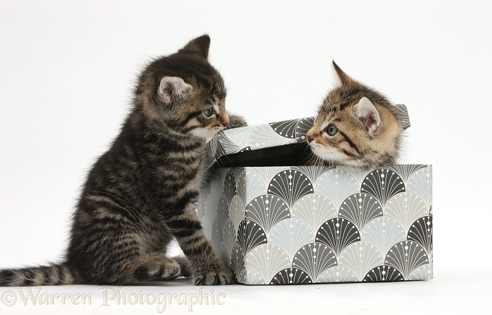 Cute tabby kittens, Stanley and Fosset, 6 weeks old, playing with a decorative cardboard box, white background