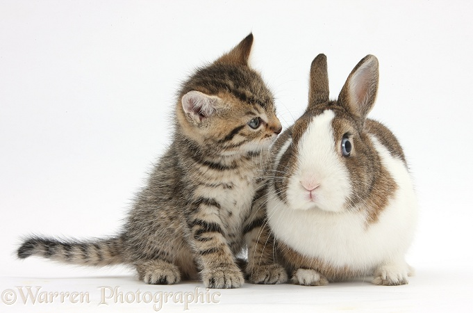 Cute tabby kitten, Stanley, 6 weeks old, with Netherland Dwarf rabbit, white background