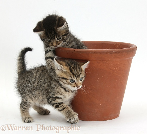 Cute tabby kittens, Stanley and Fosset, 6 weeks old, playing with a flowerpot, white background