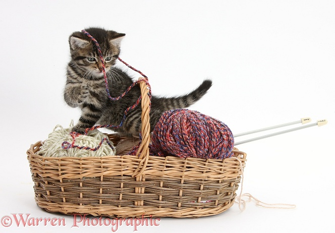 Naughty tabby kitten, Fosset, 6 weeks old, playing in a basket of knitting wool, white background