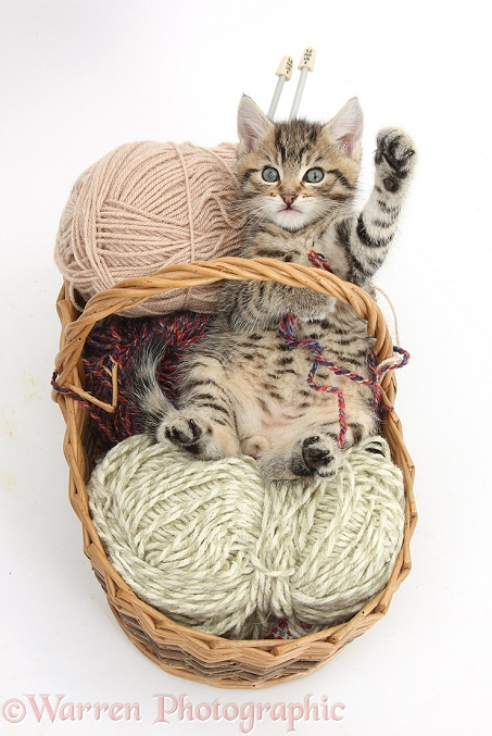Naughty tabby kitten, Stanley, 6 weeks old, playing in a basket of knitting wool, white background