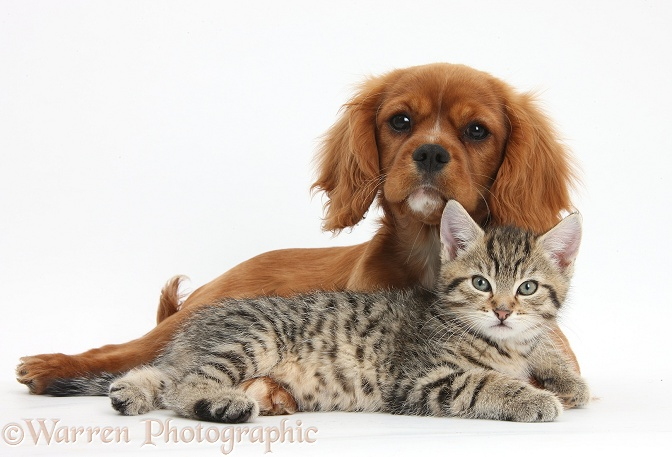 Tabby kitten, Stanley, 8 weeks old, relaxing with Ruby Cavalier King Charles Spaniel bitch, Star, white background
