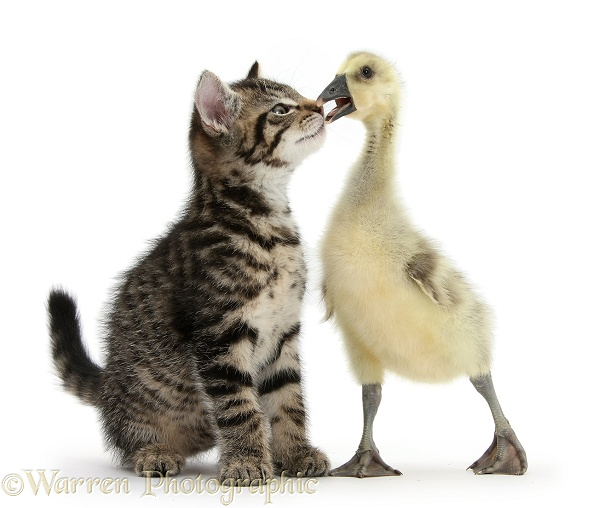 Cute tabby kitten, Fosset, 9 weeks old, nose to beak with yellow gosling, white background
