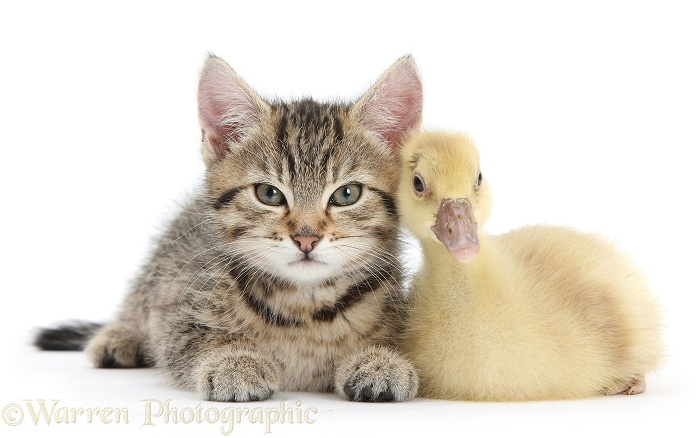 Cute tabby kitten, Stanley, 9 weeks old, with yellow gosling, white background