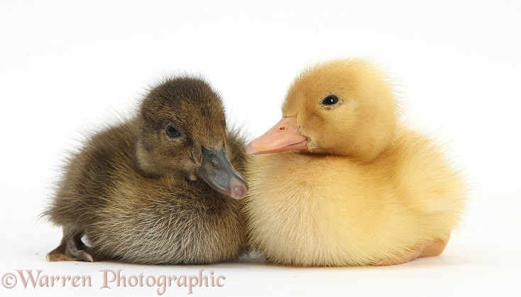 Brown and Yellow Ducklings, white background