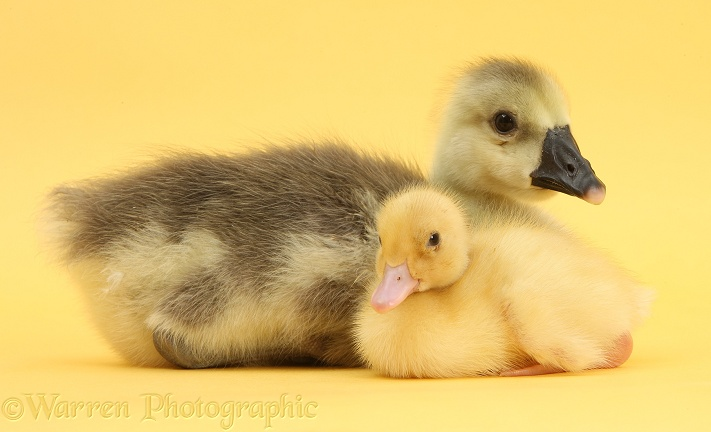 Embden x Greylag Gosling and yellow Call Duckling on yellow background