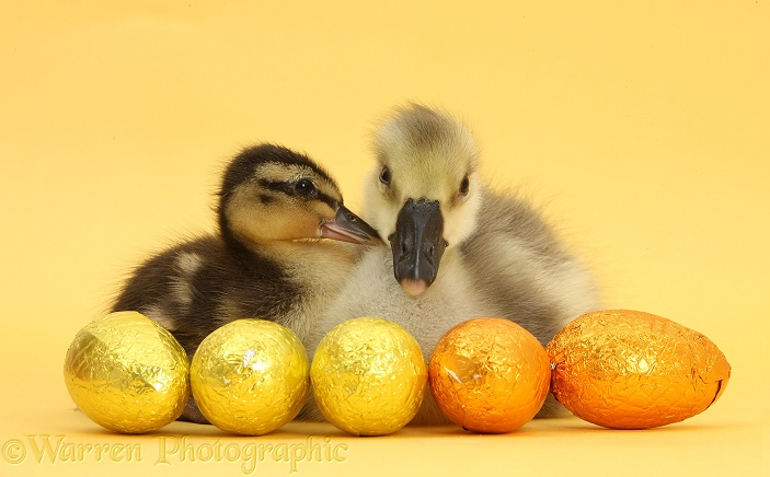 Embden x Greylag Gosling and Mallard Duckling with Easter eggs on yellow background