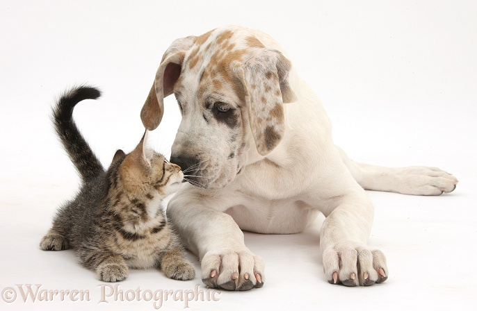 Cute tabby kitten, Stanley, 10 weeks old, nose-to-nose with Great Dane pup, Tia, 14 weeks old, white background