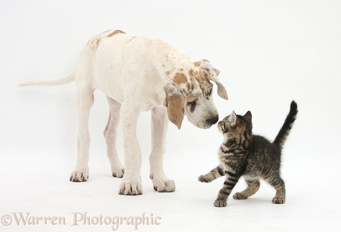 Tabby kitten, Fosset, 10 weeks old, nose-to-nose with Great Dane pup, Tia, 14 weeks old, white background