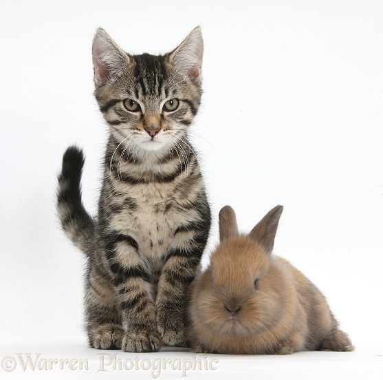 Tabby kitten, Fosset, 12 weeks old, with with baby Lionhead-cross rabbit, white background