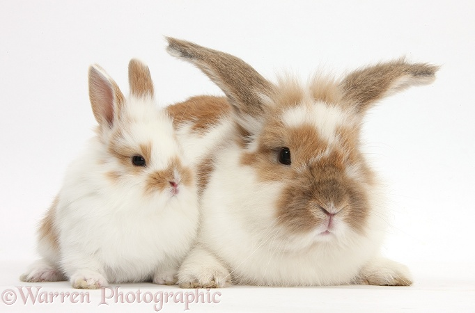 Brown-and-white rabbit and baby bunny, white background