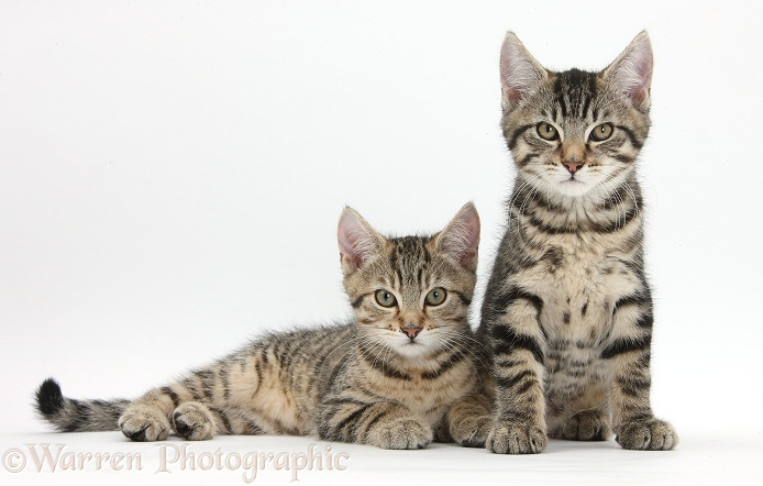 Tabby kittens, Stanley and Fosset, 12 weeks old, lounging together, white background