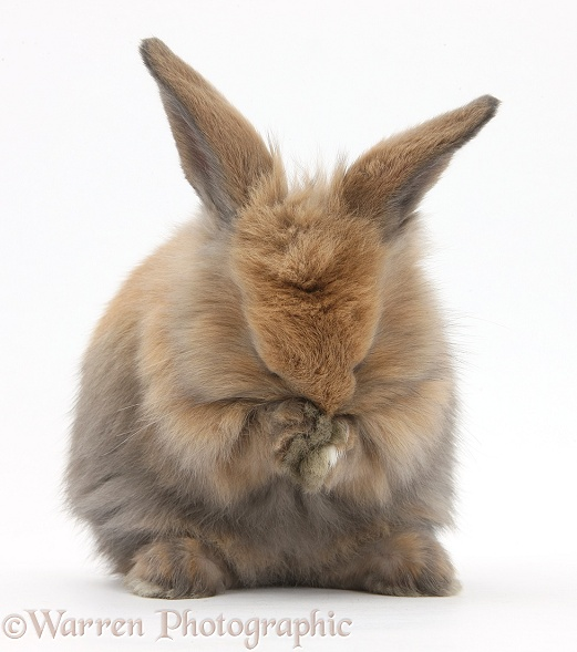 Brown and white lionhead rabbit - photo#9