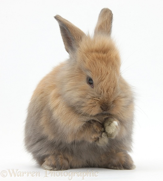 Baby brown Lionhead-cross bunny washing, white background