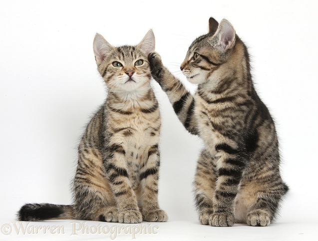 Tabby kitten, Fosset, 3 months old, with paw up on his brother, Stanley, white background