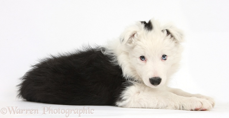 Black-and-white Border Collie bitch pup, Ice, 9 weeks old, white background