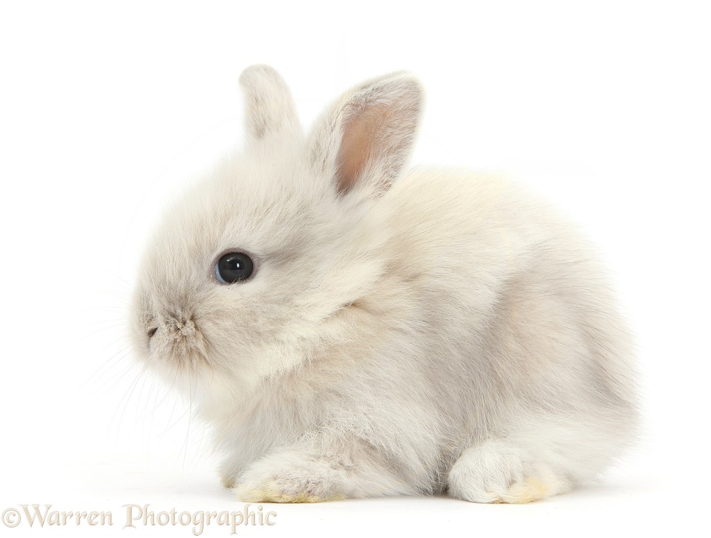 Baby Lionhead x Lop bunny, white background