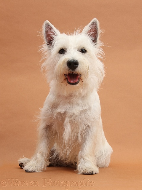 West Highland White Terrier bitch, Milly, sitting on brown background