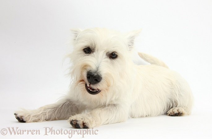 West Highland White Terrier bitch, Milly, lying with head up and pulling a funny face, white background