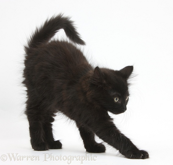Fluffy black kitten, 9 weeks old, stretching, white background