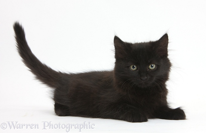 Fluffy black kitten, 9 weeks old, lying with head up