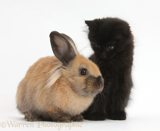 fluffy-cats