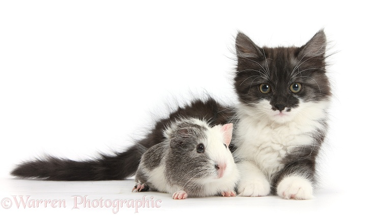 Fluffy dark silver-and-white kitten, 9 weeks old, and Guinea pig, white background
