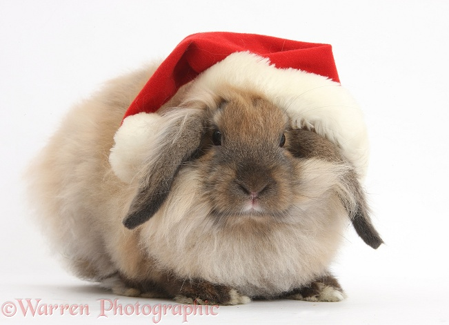Comical Lionhead-Lop rabbit wearing a Father Christmas hat, white background