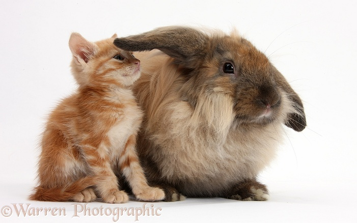 Ginger kitten and comical Lionhead-Lop rabbit, white background