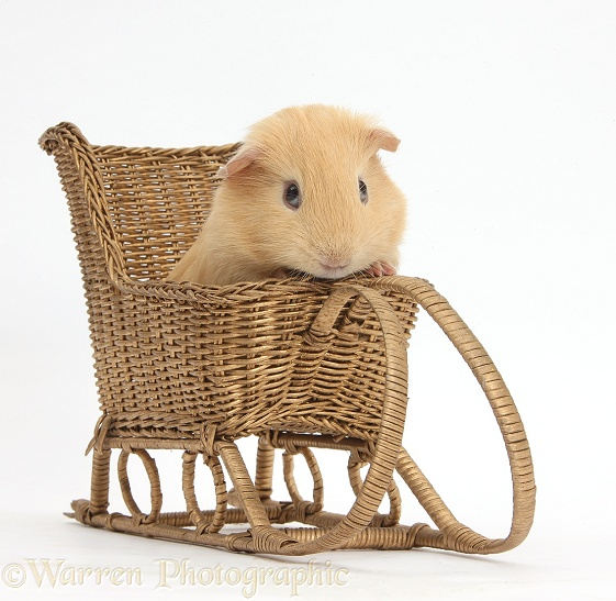 Guinea pig playing with a toy wicker sledge, white background