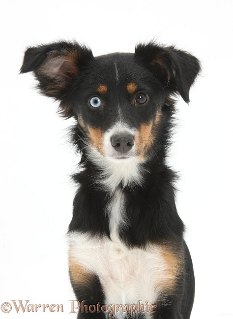 Odd-eyed tricolour Miniature American Shepherd bitch, Miley, 6 months old, sitting, with one ear cocked, white background
