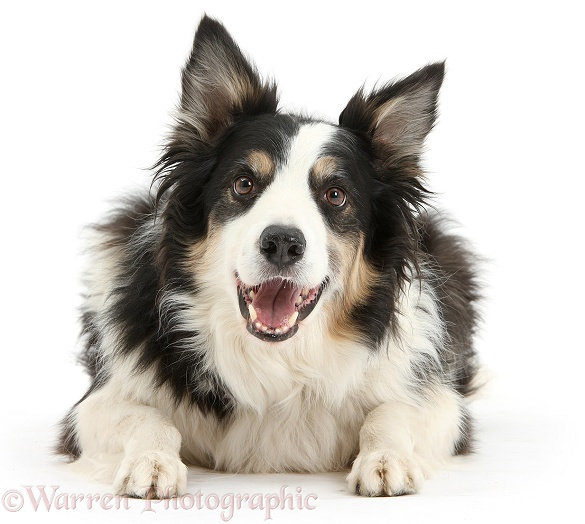 Tricolour Border Collie dog, Keen, 6 years old, lying with head up, white background