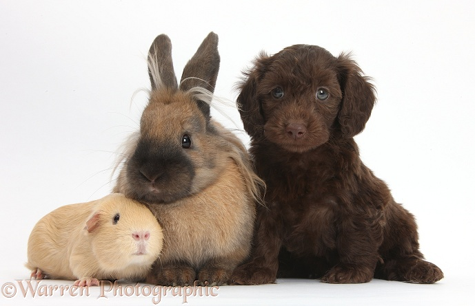 Cute chocolate Daxiedoodle puppy with yellow Guinea pig and brown rabbit, white background