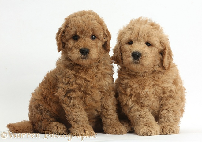 Cute F1b Goldendoodle puppies, white background