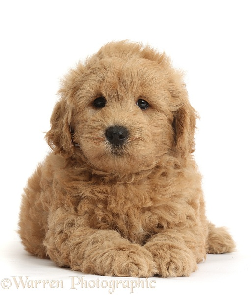 Cute F1b Goldendoodle puppy, white background