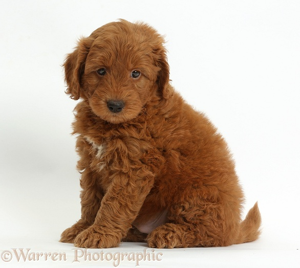 Cute red F1b Goldendoodle puppy sitting, white background