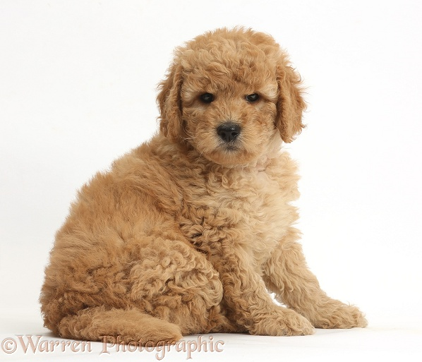 Cute F1b Goldendoodle puppy sitting, white background