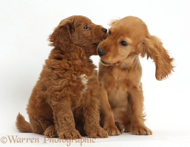 Golden Cocker Spaniel puppy, Maizy, with a red F1b Goldendoodle puppy, white background
