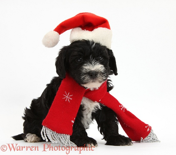Yorkipoo pup, 7 weeks old, wearing a Father Christmas hat and scarf, white background