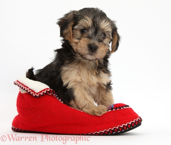 Yorkipoo pup, 7 weeks old, in a red knitted Christmas slipper, white background