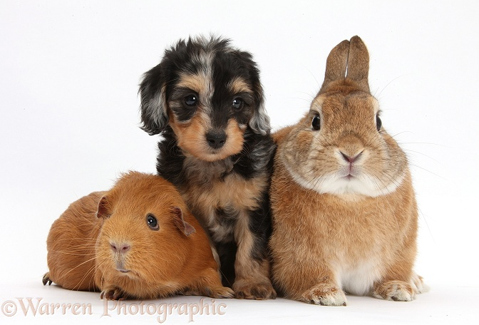 Black-and-tan Daxie-doodle pup with red Guinea pig and Netherland Dwarf-cross rabbit, Peter, white background