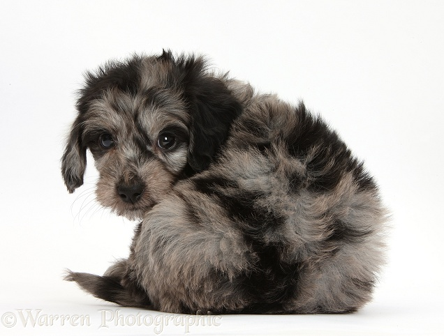 Cute black-and-grey Daxiedoodle puppy looking round, white background