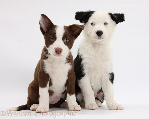 Chocolate and black-and-white Border Collie puppies, white background