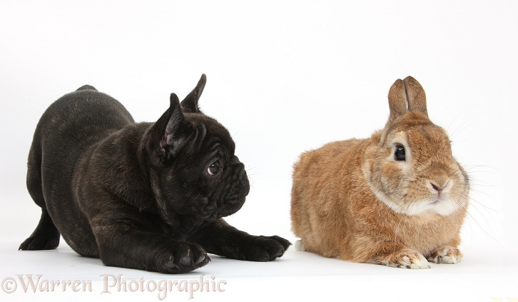 Dark brindle French Bulldog pup, Bacchus, 9 weeks old, with sandy Netherland Dwarf-cross rabbit, Peter, white background
